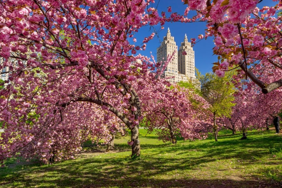 New York on a spring day, cherry blossom in central park